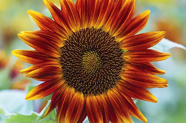 sunflower_varieties_6